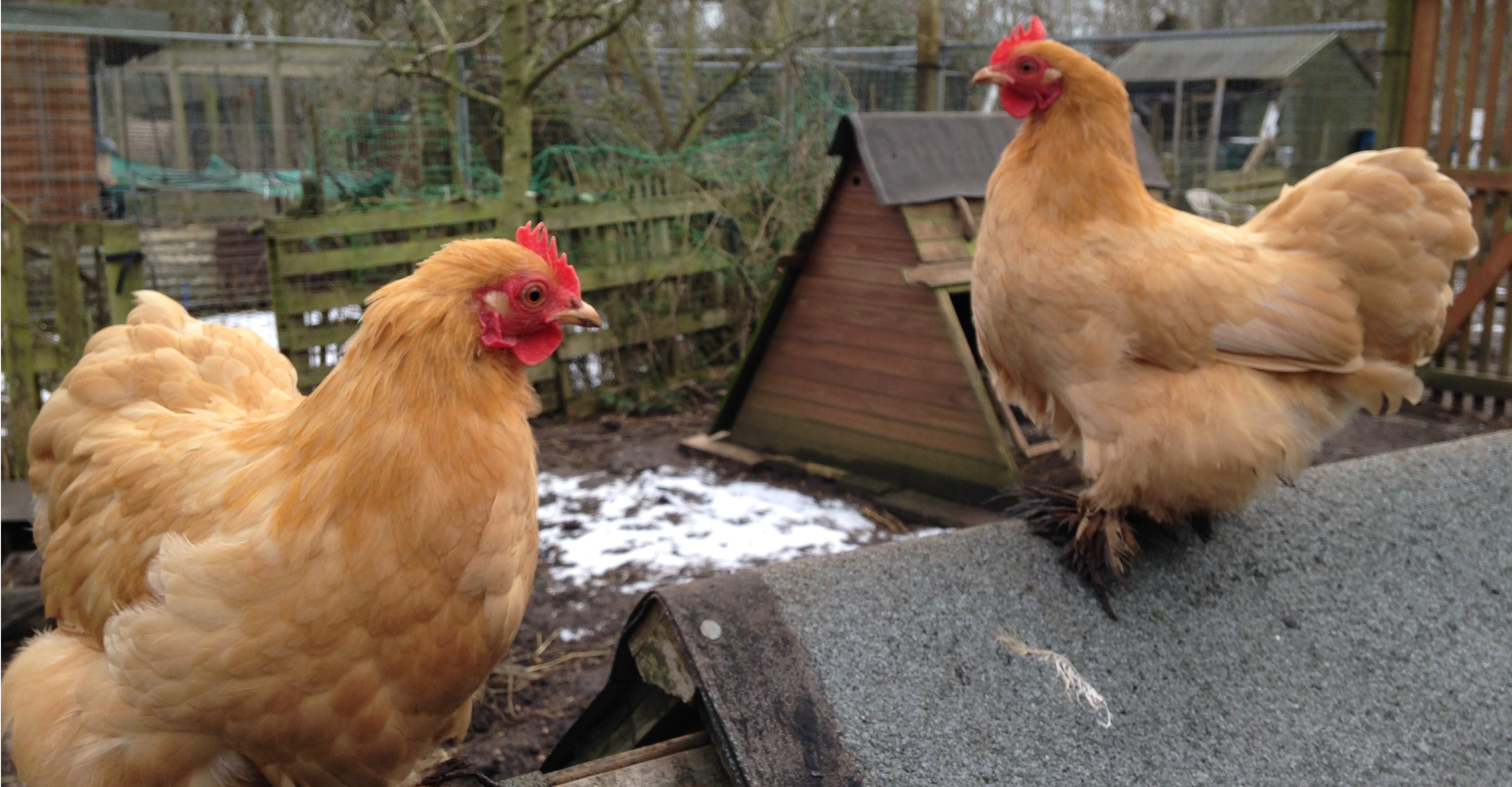<h2>Chicken allotments</h2><div class='slide-content'><p><span class='highlight'>Plots within a fenced area where you can keep hens to produce eggs</span></p></div><a href='/chicken-plots/' class='btn' title='Read more'>Read more</a>